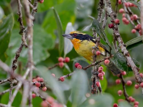 Gilded Barbet/Capitão-de-fronte-dourada/Cabezón dorado (Capito auratus) male