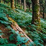 Ferns- Mountain-Xerovouni