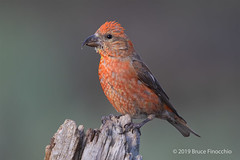 Male Red Crossbill Perched On An Old Stump