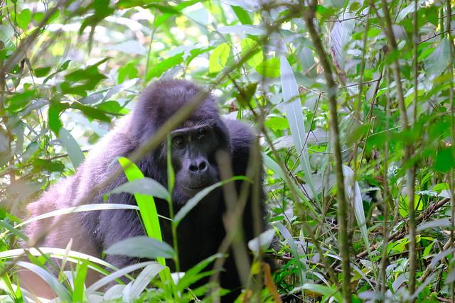 Day 10 - Gorilla Trekking