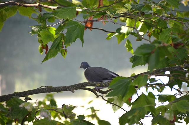 La palombe surveille le canal