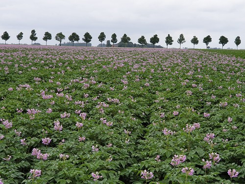 Juli 2019: Het land waar de aardappelen bloeien.