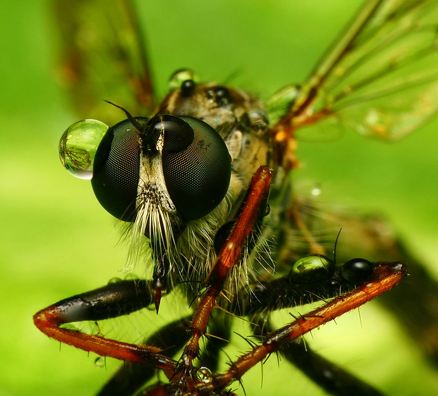 Robber Fly & Water Drops