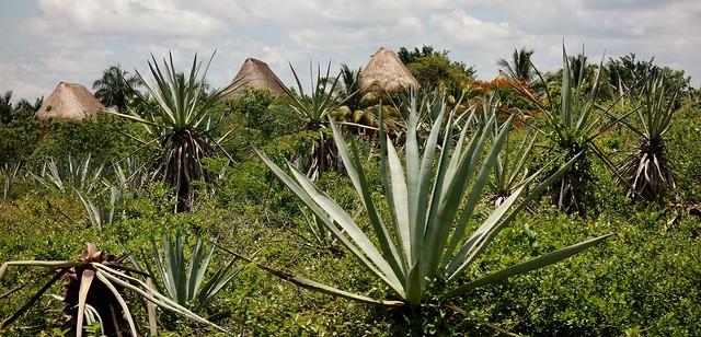 MEXIKO, Yucatán , Hacienda Sotuta de Peón, Sisalplantage,191115/11776