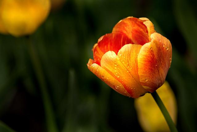 Amazing Tulip 3-0 F LR 4-13-19 J592