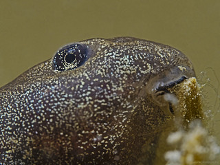 Toad tadpole, Erdkröten Kaulquappe (Bufo bufo)