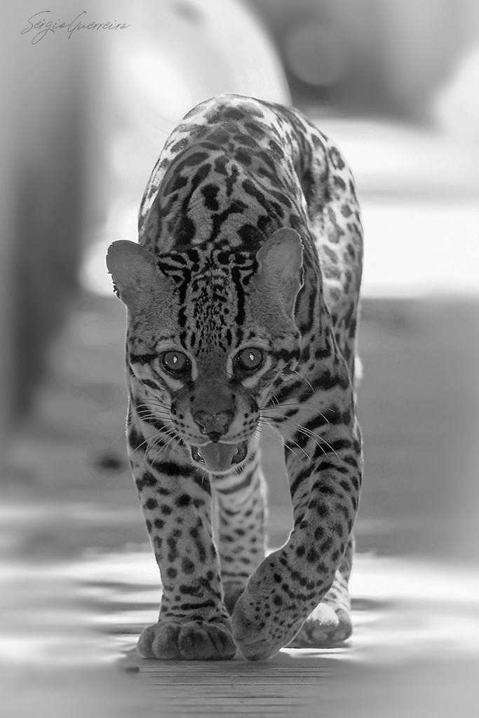 face to face with an ocelot