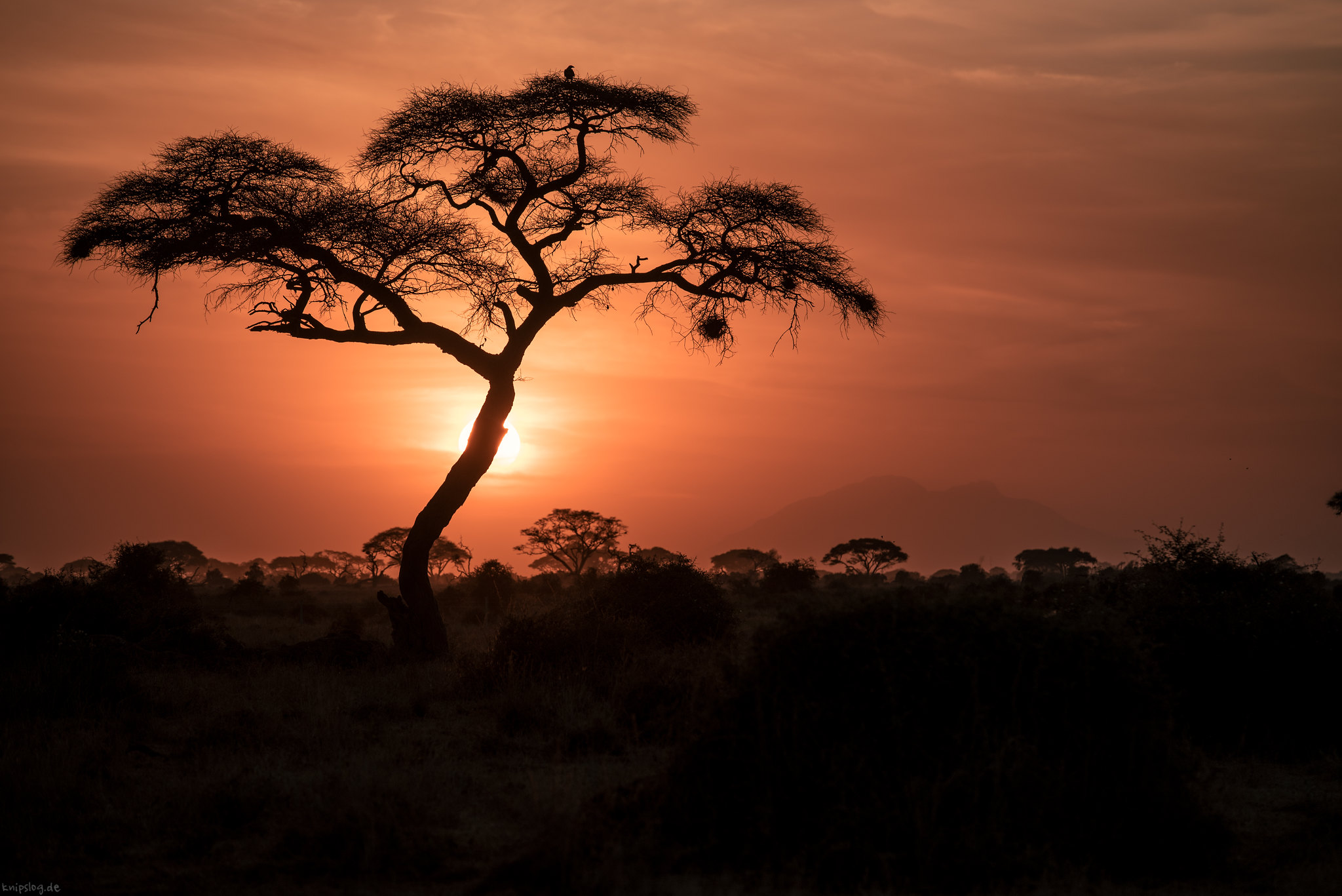 African sundowner