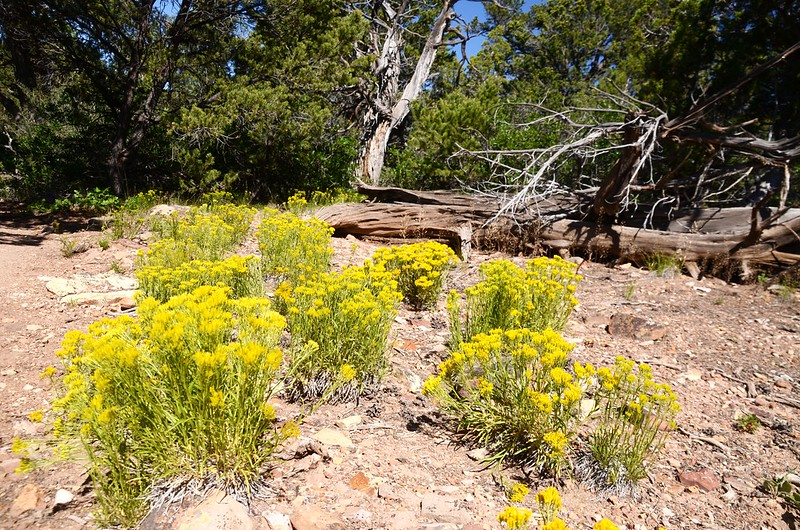 Rubber Rabbitbrush (1)