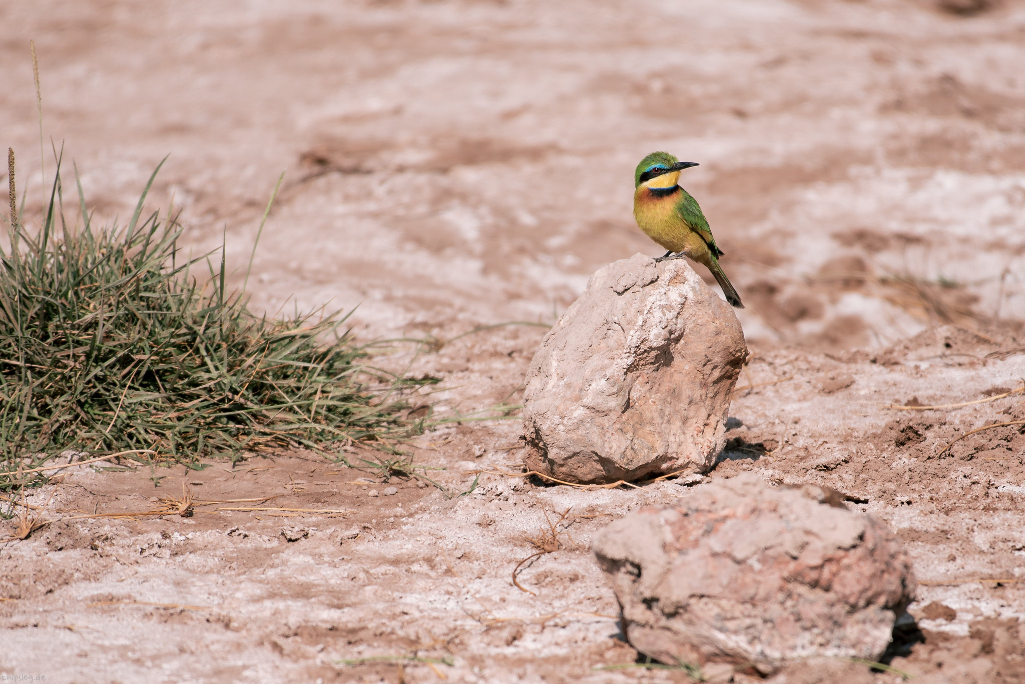 Colorful bee-eater