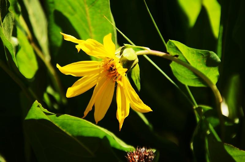 Aspen sunflower