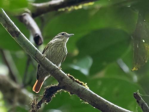 Rufous-tailed Xenops/Bico-virado-da-copa/Picolezna colirrufo (Microxenops milleri)