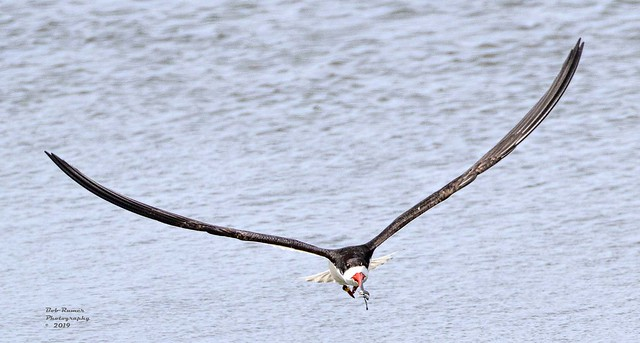 Black Skimmer with Fish.
