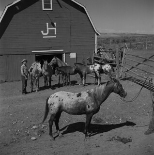 Appaloosa horses / Chevaux de la race appaloosa