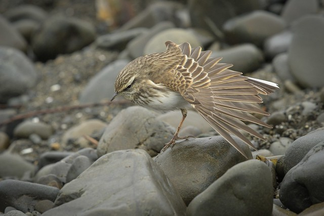 New Zealand Pipit wing stretch