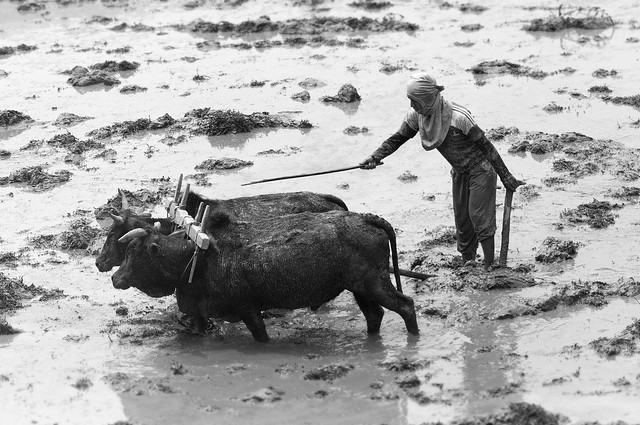 Ploughing with water buffalo in Nepal