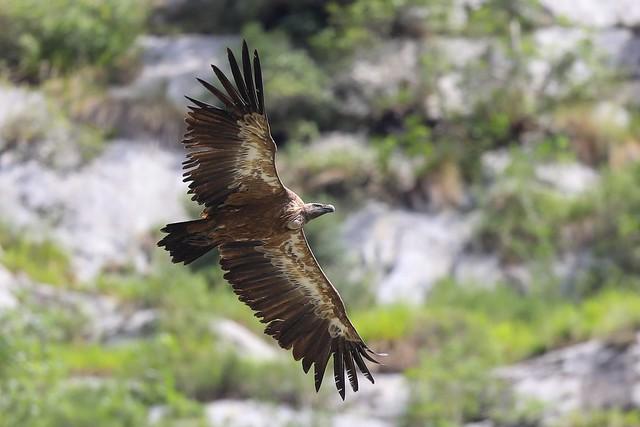 Griffon Vulture (Gåsegrib), Bejes