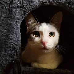 Such intelligent eyes! #catsofinstagram #mycatisbeautiful