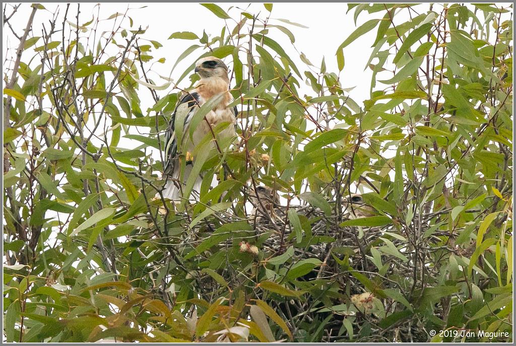 White-tailed Kite Nest 3871
