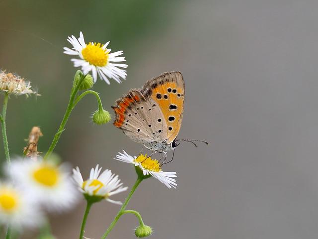 OMD EM1 7.24.2019 butterfly 3