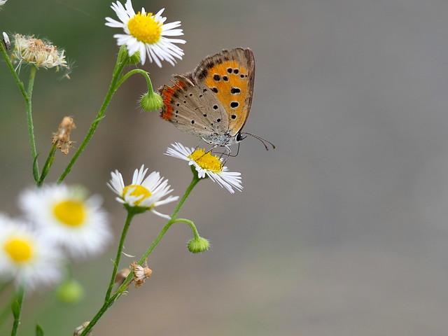 OMD EM1 7.24.2019 butterfly 1