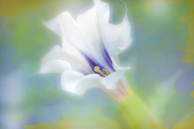 Jimsonweed - Night Bloomer