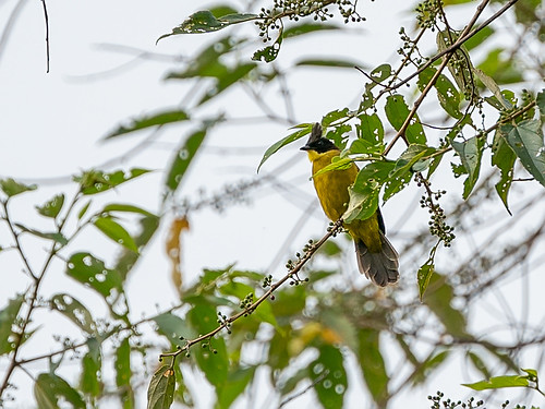 Bornean Bulbul (Pycnonotus montis)