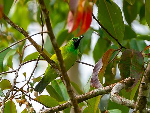 Bornean Leafbird (Chloropsis kinabaluensis)