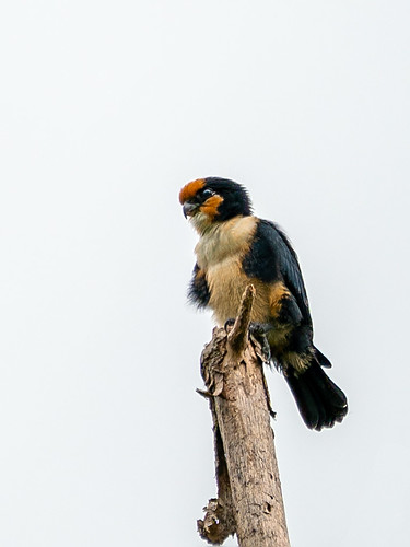 White-fronted Falconet (Microhierax latifrons)