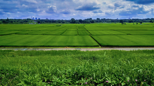 Rice fields along the Arakawa