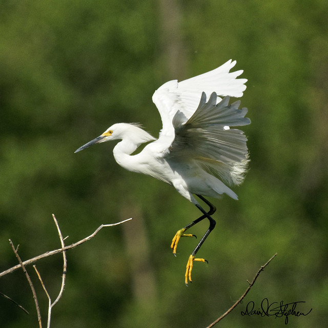 Snowy Egret Comes In For Landing