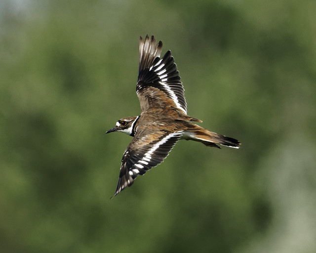 Killdeer Flies By - Shot 1