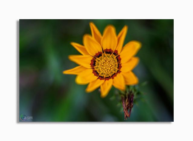 Gazania rigens : Pareil à la fleur, l'homme s'épanouit et se fane, il s'efface comme une ombre. De La Bible / Livre de Job