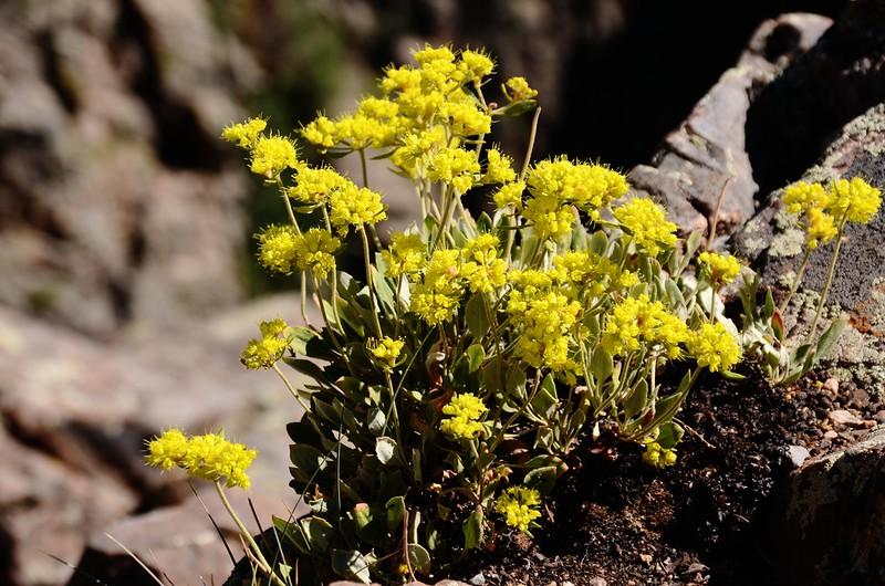 Sulphur flower (3)