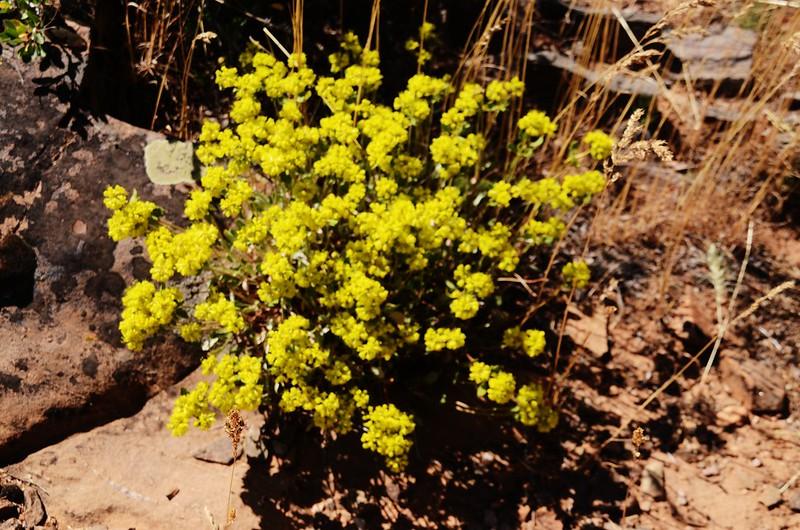 Sulphur flower (1)