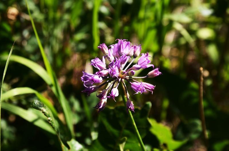 Allium acuminatum (Hooker's Onion) (10)