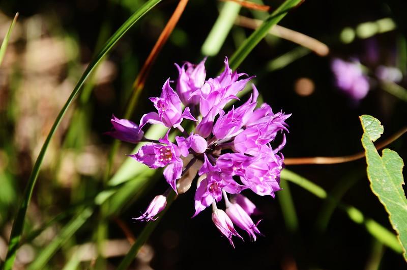 Allium acuminatum (Hooker's Onion) (9)
