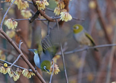 Silvereye making a quick getaway