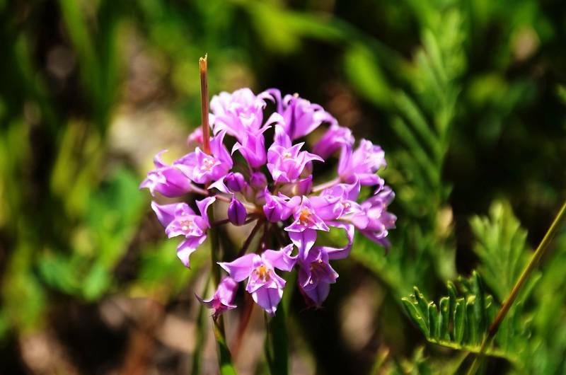 Allium acuminatum (Hooker's Onion) (1)