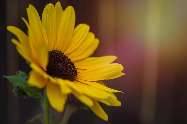 Sunflower at sunset in my yard