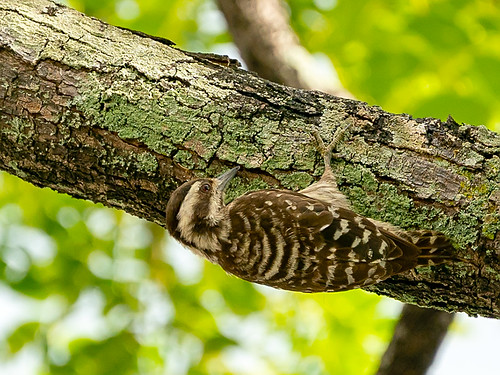 Sunda Pygmy Woodpecker (Picoides moluccensis)
