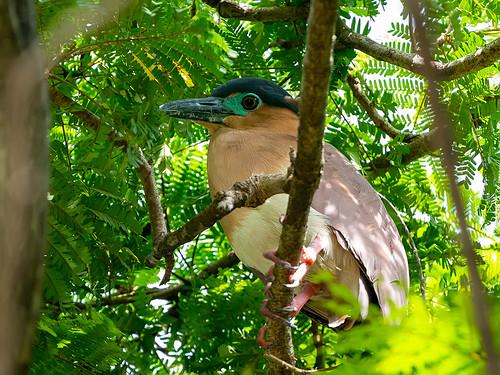 Rufous Night-heron (Nycticorax caledonicus)