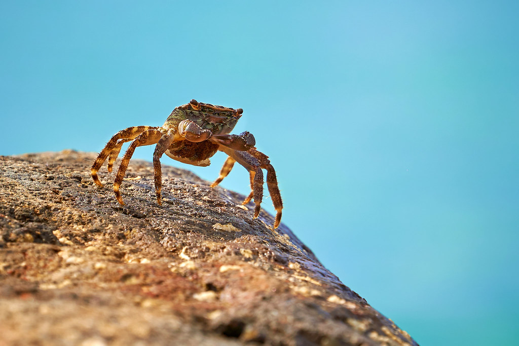king of the crabs | [ Tino ] | Flickr