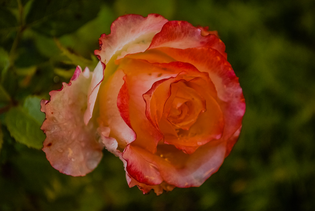 Pretty rose 20:33:25 DSC_3407