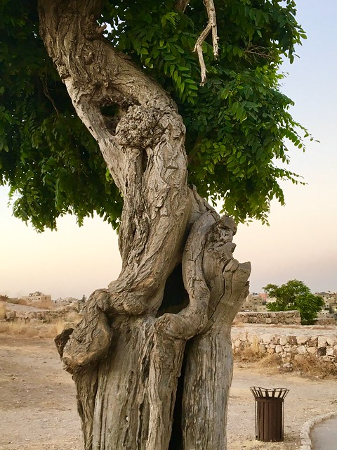 Tree trunk, Amman, Jordan