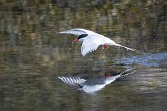 Arctic Tern, Isle of May.