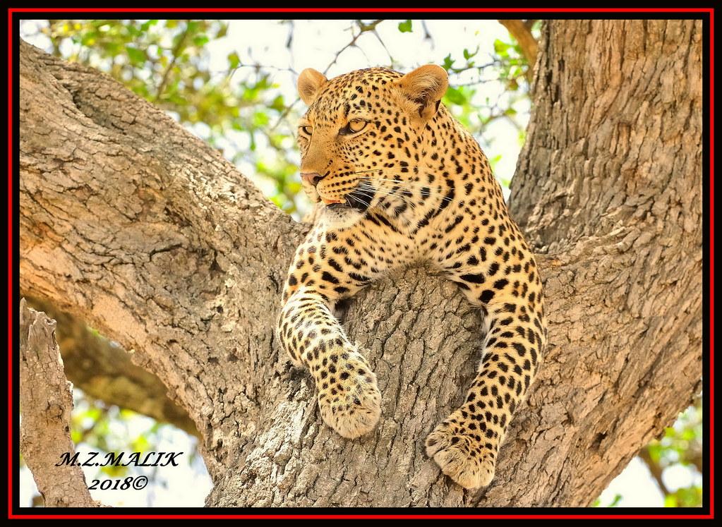 LEOPARD (Panthera pardus) ...MASAI MARA.....SEPT 2018.
