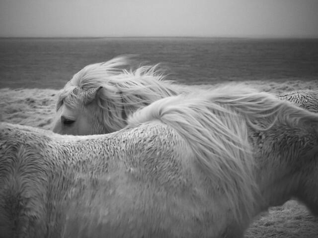 hali horses