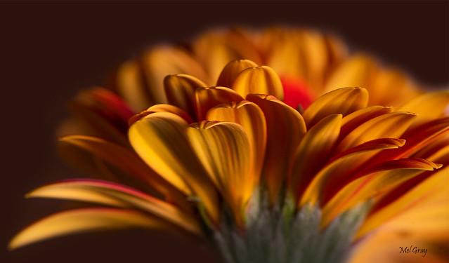 Yellow-petals_DSC2532