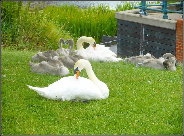The Swan Family ...